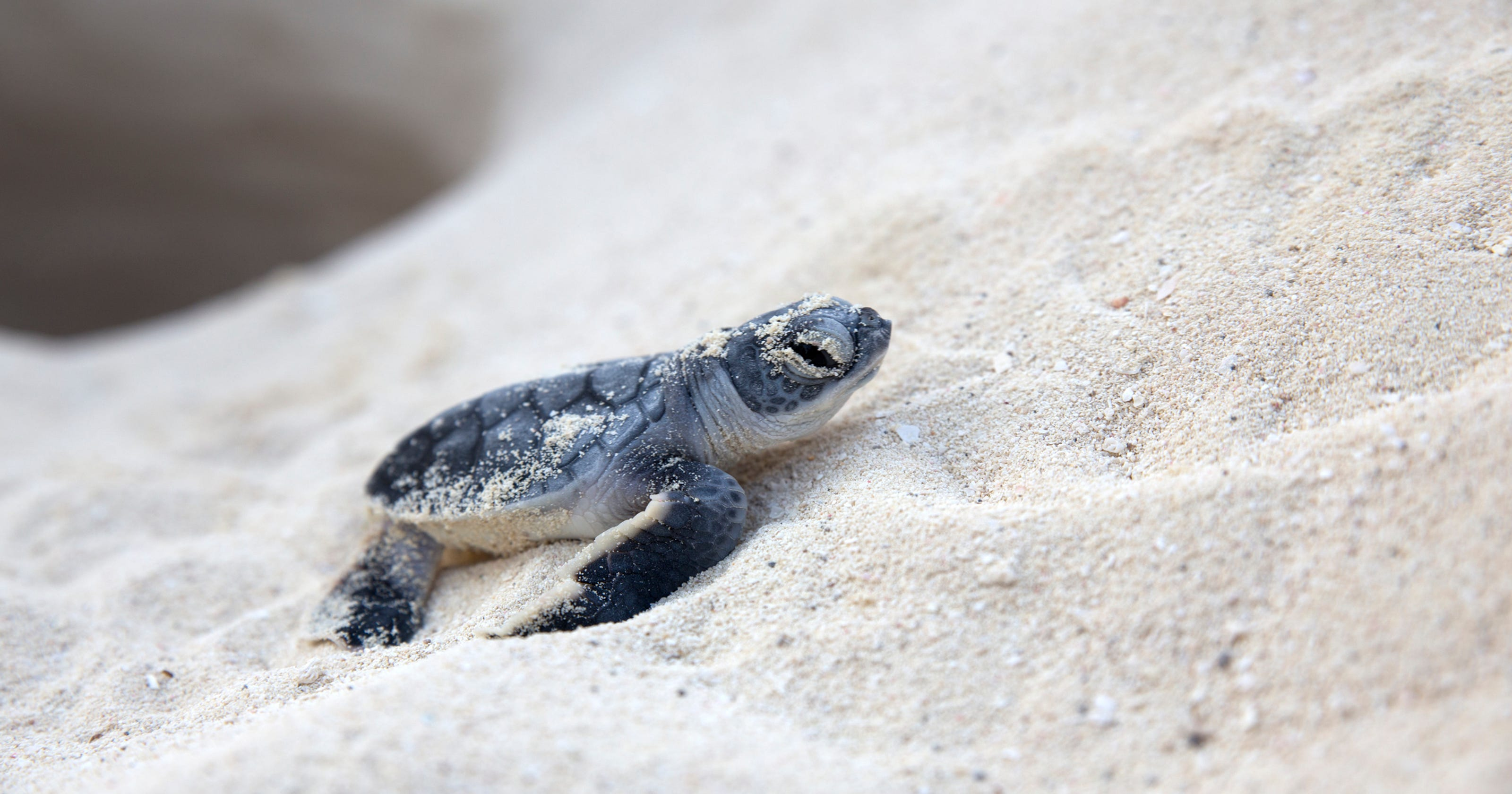 sea turtle hatchlings nearly double the most recorded at cape romano