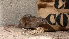 A brown rat eating out of a sack of corn.