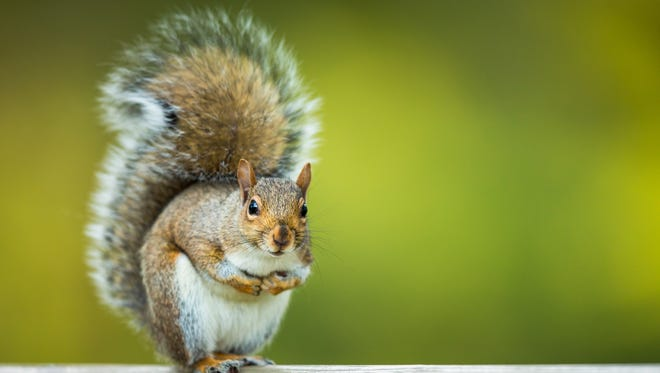 An example of an eastern grey squirrel.