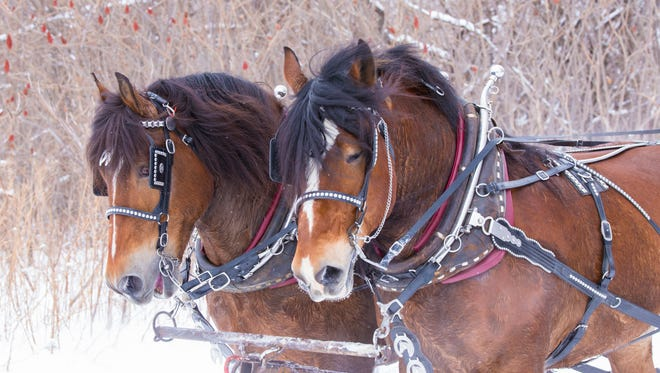 Horse-drawn sleigh rides will be offered during Winter Family Fest on Saturday at Seehafer Farm Creamery, M241 State 97 in Marshfield.