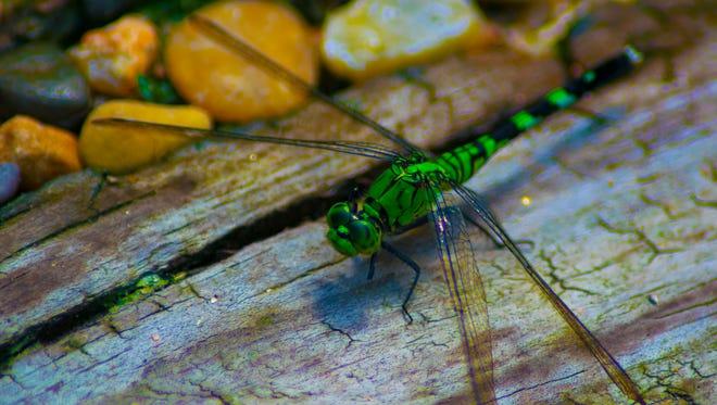 A green Dragonfly sitting on wood, near rocks.