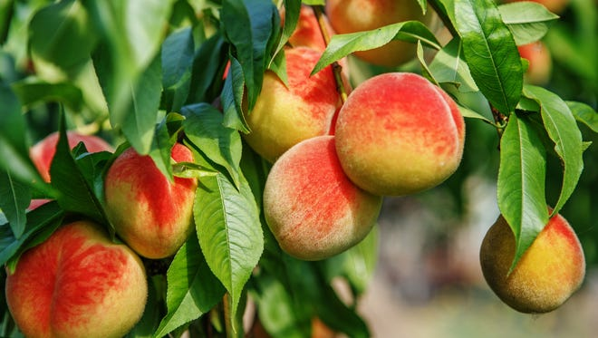 A really ripe peach will have a good fragrance. Sweet peach fruits growing on a peach tree branch in orchard