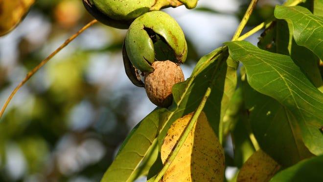 Ripe walnut on the branch