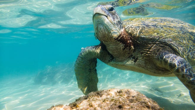 Researchers suggest warming temperatures may have made nearly an entire generation of green sea turtles female.