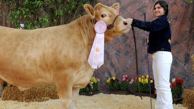 Maribel Saucedo, of Santa Paula, shows her steer Lennie at last year's  Junior Livestock Auction at the Ventura County Fair. The 1,265-pound steer sold for $5 a pound. This year's fair starts Wednesday.