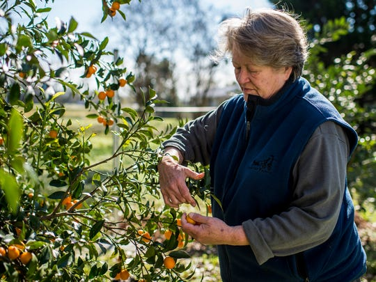 In this Advertiser file photo, Marguerite Constantine picks kumquats from a tree at WesMar Farm in Moreauville.