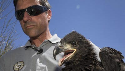 Arizona Game and Fish Department biologist Kyle McCarty holds one of the eaglets, April 20, 2015, at Lake Pleasant.