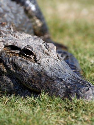 A monster gator surprised a group of golfers in Georgia on Sunday.