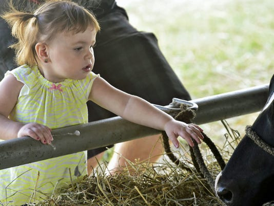 Alaua Dugan, 18, months-old, Newville, reaces out to greet a cow at a barn, Wednesday, July 22, 2015 at Shippensburg Community Fair. Markell DeLoatch - Public Opinion