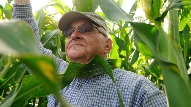 Norm Johnson measures some of the corn at his farm. Sweet corn season creates a new option for Minnesotans in search of homegrown vegetables.