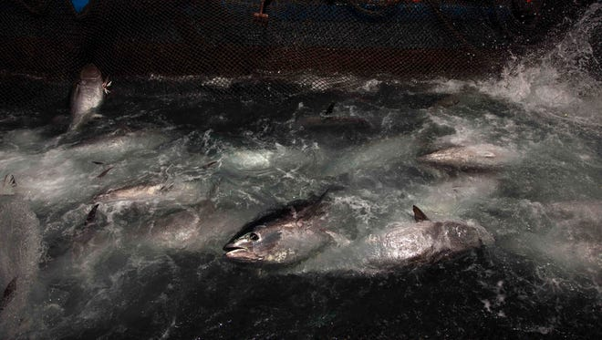Bluefin tuna are surrounded by fishing nets.