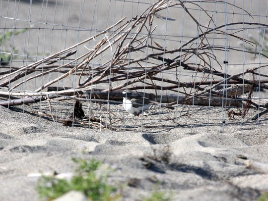 A western snowy plover atop a nest inside a mini-exclosure