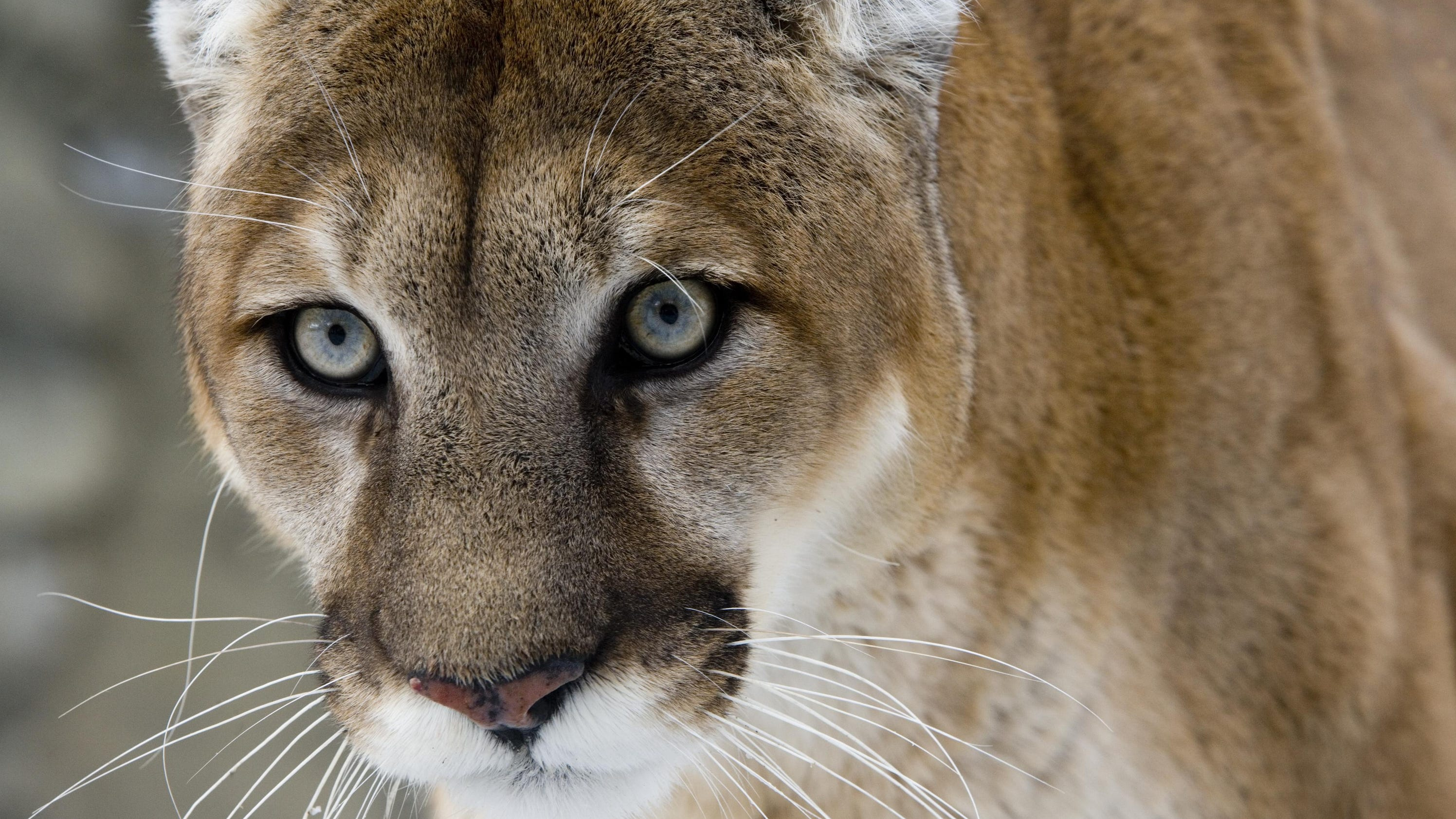 Cougars in the wild in New York? Not yet, the state says