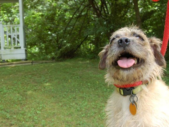 Connie, a 5-year-old Cairn terrier, enjoys some time outside in the yard at the Humane Society of North Central Arkansas on Friday. Connie was among the 19 dogs and 20 cats rescued from an animal hoarding situation at a Baxter County Road 159 property in April.
