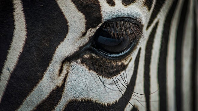 "This ""Zebra Eye"" photo helped Loveland High School student Sam Smith win the prestigious Overture Award as a sophomore."