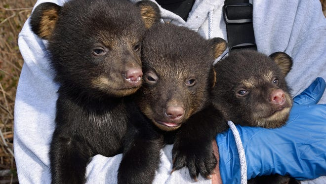 Researchers will visit bear dens in an around Asheville in February as part of a five-year study of urban and suburban bears.