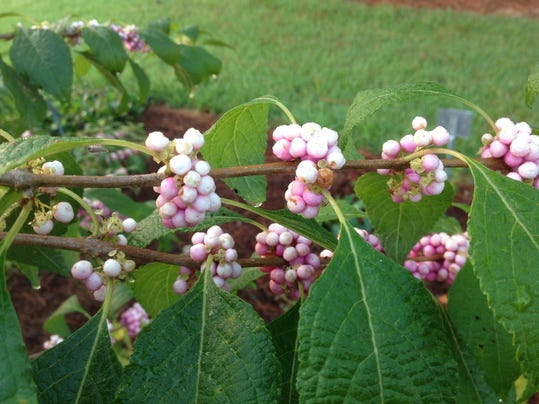 pink beautyberry