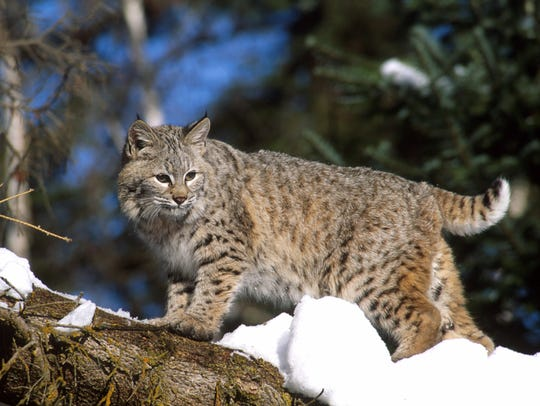 Bobcats have officially been declared returned to Crawford