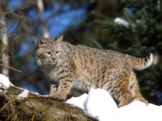 Bobcats were officially declared returned to Crawford