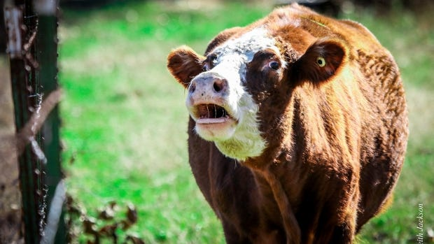 This cow is not what's for lunch. It's a different cow. Honest.