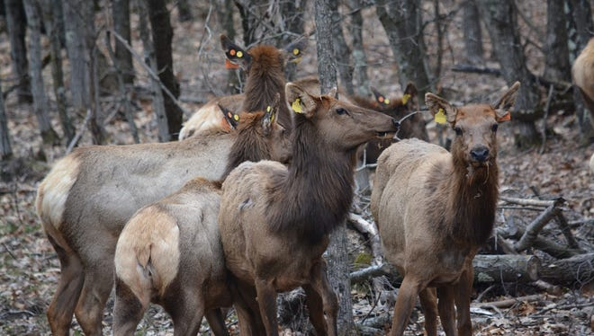 Elk have made their journey from Kentucky to Wisconsin and will soon join the Clam Lake herd.
