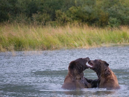 A pair of brown bears play in a pond at