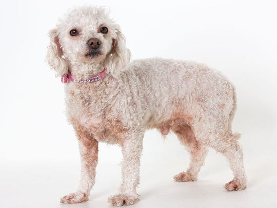 Coco, 4-year-old male miniature poodle. No. 34442.