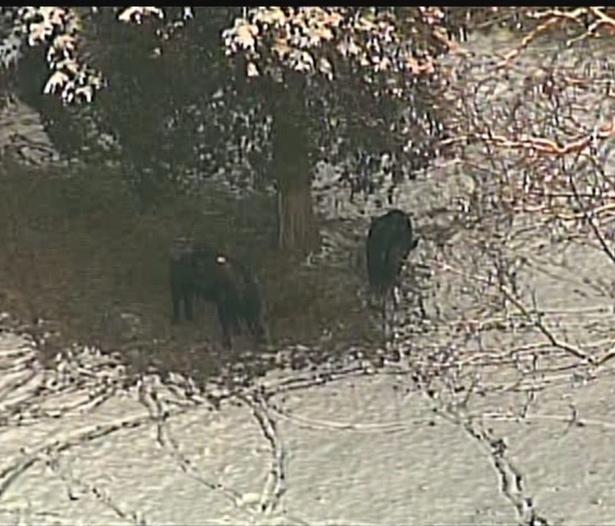 Crews work to round up cattle after truck overturns on I-64 | whas11 com
