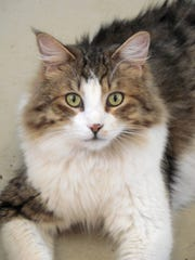 Barry Jay is a 2-year-old domestic, long-haired, brown tabby with white markings. He's a very sweet guy who loves to clean windows, and isn't too afraid of water. Apply with Another Chance Animal Welfare League Adoption Center at www.acawl.org. Call 547-7387.