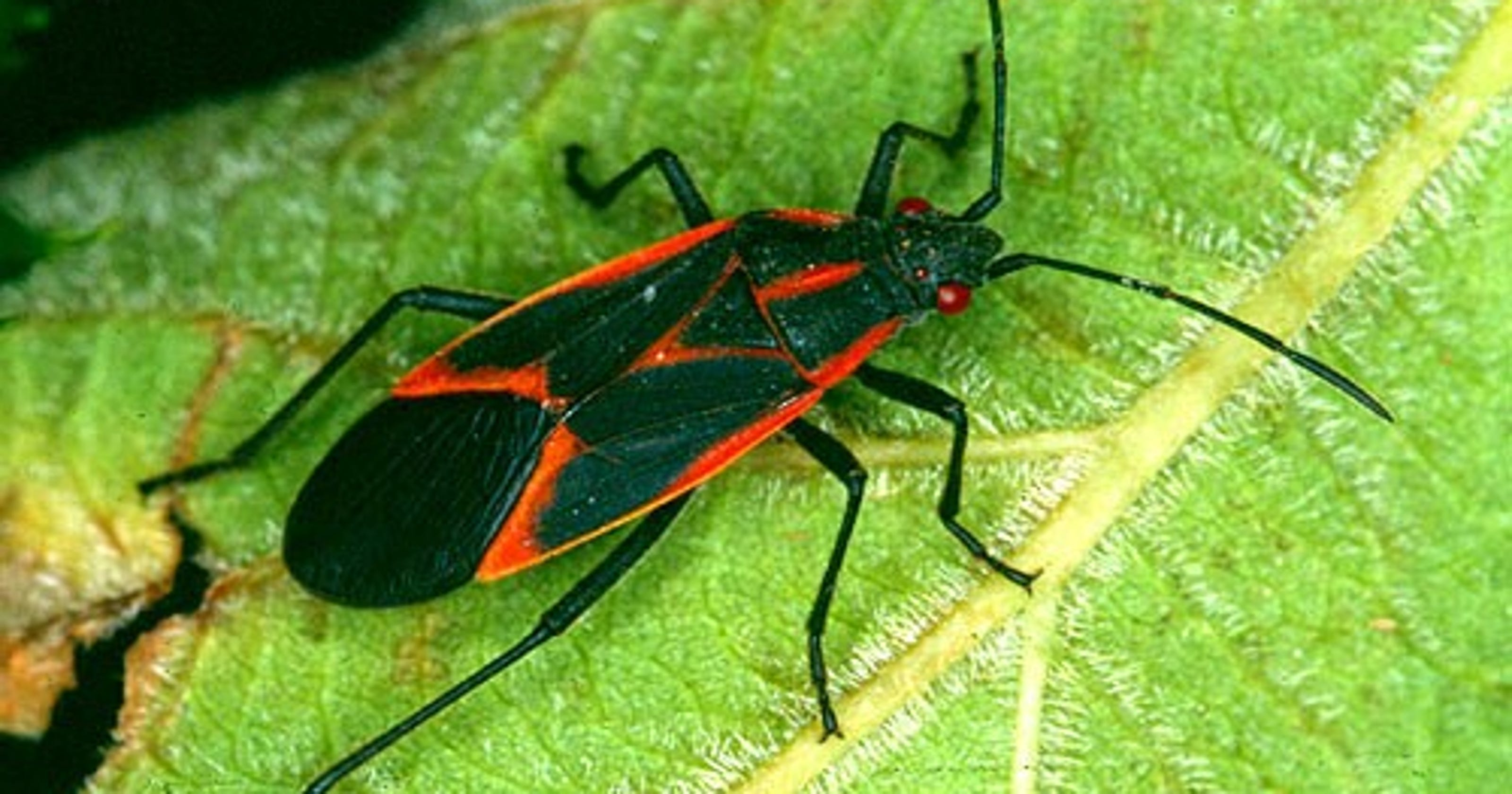 what are those black and red bugs crawling all over fort collins