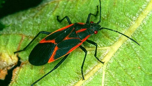 A boxelder bug crawls on a leaf.