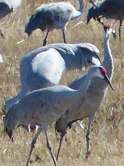This pair of sandhill cranes seems to exercise a sense