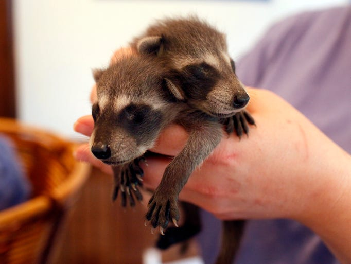 Volunteer Michelle Russell holds two baby raccoons for visitors to see during the third annual Wildlife Baby Shower held to raise money for Second Chances Wildlife Center. The center provides wildlife rehabilitation and safe release of injured, displaced or orphaned wild animals.  June 1, 2014