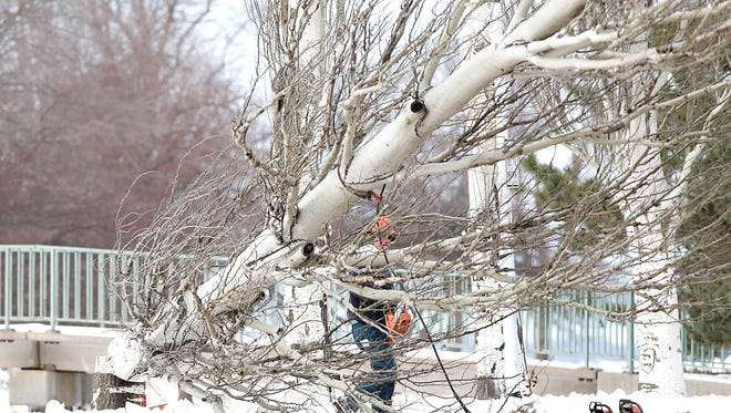 A worker cuts down a white poplar tree on the east end of Lakeside Park in Fond du Lac. About a dozen of the trees are being removed to make way for a bike path.