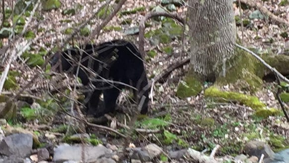 David Paulk spotted a black bear near Front Royal on