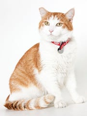 Buttercup, a 5-year-old male domestic short hair cat. No. 95127.