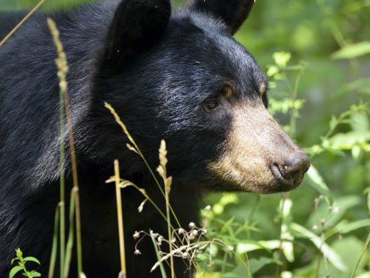 There is currently a proposal to expand bear season throughout the state, which could be the vehicle that drives the state to all-time high bear harvests.