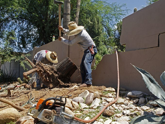 Workers tear up the stump of a 20-foot Mesquite tree