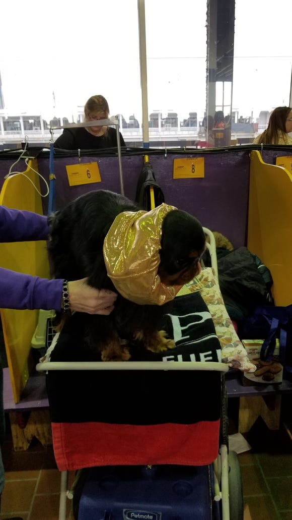 8 grooming secrets of Westminster Show dogs, from corn starch to oil baths