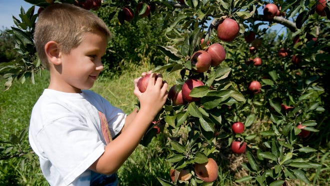 File: 5-year-old Ben Longshaw of Medford picks Red Delicious apples at the Conte Farm in Tabernacle. 09.14.12