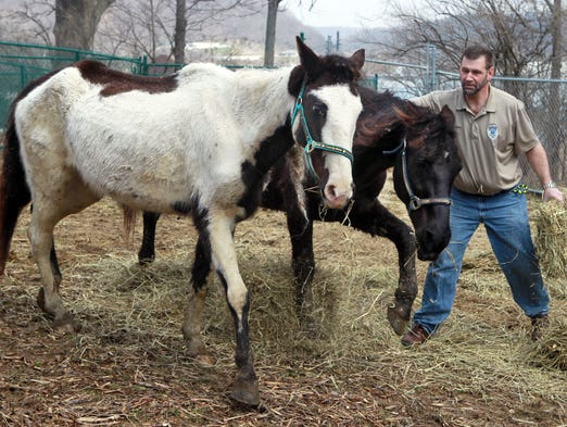 A volunteer leads two horses seized from Larry Browning's Pendleton County farm.