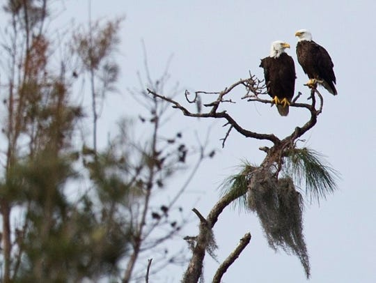 Two bald eagles keep watch over the landscape at the