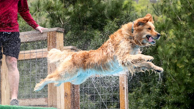 Levon, owned by Melisse Latini, is one of 3,000 golden retrievers enrolled in the Golden Retriever Lifetime Study to discover the causes of cancer in the breed.