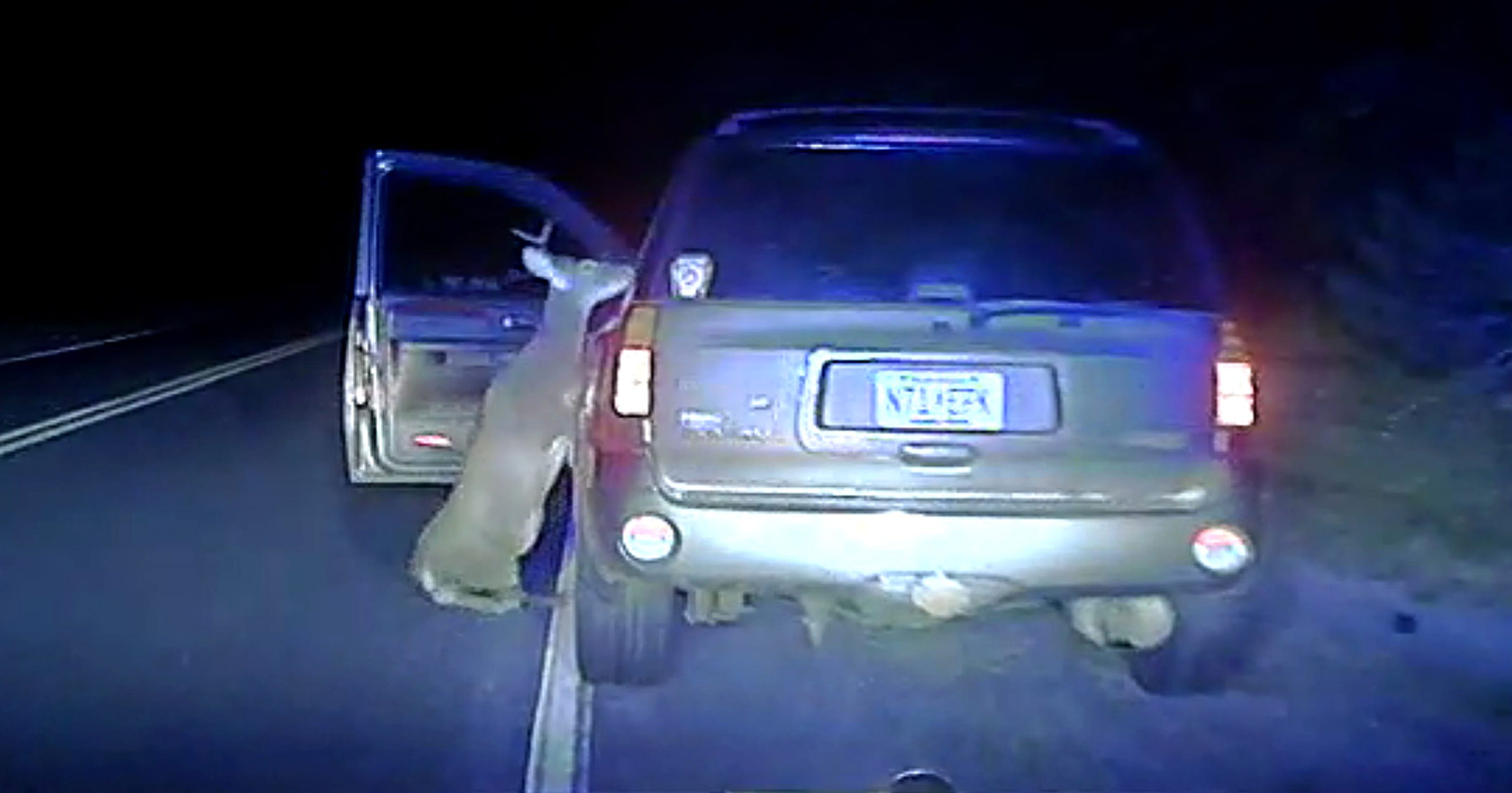 When Deer Strike Back: Animal, Hit By Car, Tries To Get To