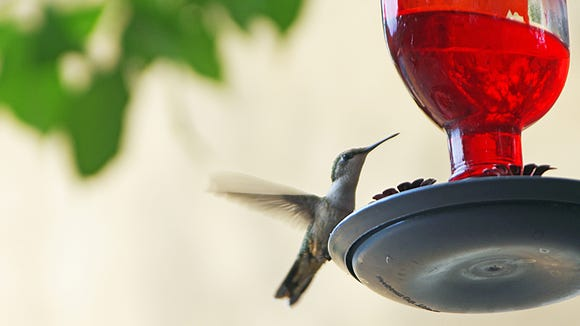 When the temperatures are cool and the feeder is out, Donna Echols can expect to see hummingbirds in her yard.