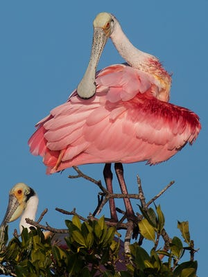 Roseate spoonbills nest along the coast from the Florida Keys to Tampa.