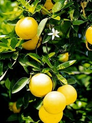 The key to growing citrus is regular pruning, regular water, and proper fertilizer and soil treatment