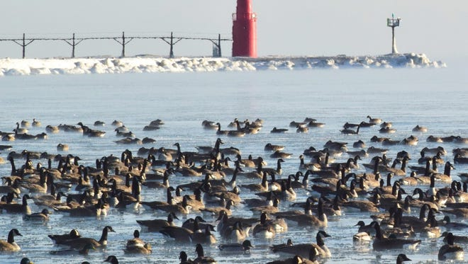 Lake Michigan Canada geese, mallards and diver ducks might have to look a little harder for open water options if the unusually cold weather continues. Windy weather has been enough to keep the lake more open than the other Great Lakes so far this winter.