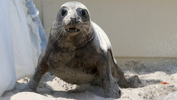 Watch as three seals are released back into the wild at Sandy Hook