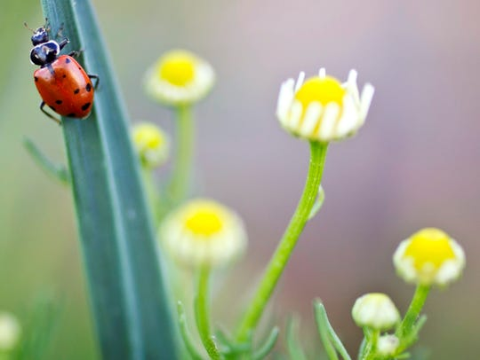 A ladybug hangs on a garlic scape near flowers of a